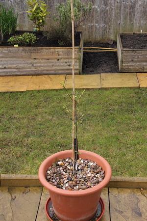 Patio Plum Tree
