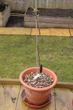 Patio Pear Tree
